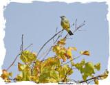 20150928 367Western Kingbird.jpg