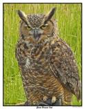 20150830 152 Great Horned Owl2.jpg