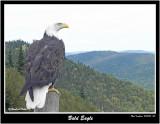 20150830 085  Bald Eagle.jpg