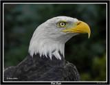 20150830 090  Bald Eagle.jpg