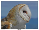 20150830 115  Barn Owl.jpg
