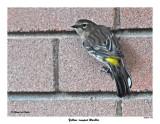 20151007 392 Yellow-rumped Warbler.jpg