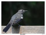 20150904 146 Gray Catbird.jpg