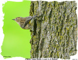 20151016-2 045 SERIES - A Yellow-rumped Warbler (a want-to-be Nuthatch) .jpg