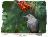 20150904 224 Gray Catbird.jpg