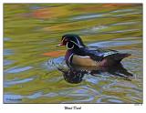 20151103 172 SERIES - Wood Duck.jpg