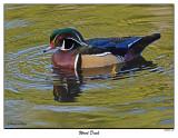 20151103 166 Wood Duck.jpg