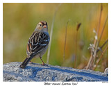 20151109 252 White-crowned Sparrow (juv(.jpg