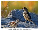 20151109 281  283 American Tree Sparrow (L)  White-crowned Sparrow (R).jpg