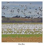 20151114 140, 116 SERIES - Snow Geese2.jpg