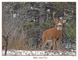 20151125 040 White-tailed Deer.jpg