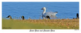 20151128 091 Snow Goose and Canada Geese.jpg
