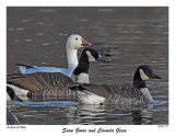 20151128 399 Snow Goose and Canada Geese.jpg
