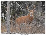 20151125 052 White-tailed Deer.jpg