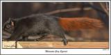 20151207 143 SERIES - Melanistic Eastern  Gray Squirrel.jpg