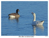 20151128 195 Snow Goose and Canada Goose.jpg