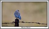 20151216 010 Mountain Bluebird.jpg