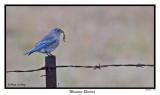 20151218 048 Mountain Bluebird.jpg