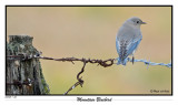 20151218 440 Mountain Bluebird.jpg