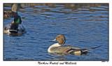20151211-1 061 Northern Pintail and Mallards.jpg