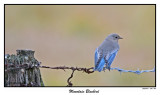 20151218 446 440 Mountain Bluebird.jpg