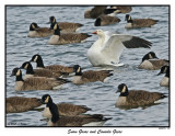 20151219-1 180 SERIES - Snow Goose and Canada Geese.jpg