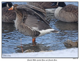 20151219-2 051 SERIES - Grearter White-fronted Goose and Canada Geese.jpg