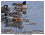 20151219-2 417 SERIES - Greater White-fronted Goose and Canada Geese .jpg