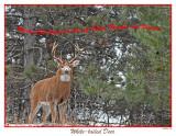 20151125 041 White-tailed Deer.jpg