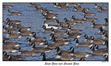 20151219-2 328 SERIES - Snow Goose and Canada Geese.jpg
