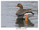 20151219-1 241 Greater White-fronted Goose.jpg