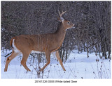 20161226 0306 White-tailed Deer.jpg