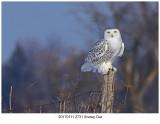 20170111 2731 Snowy Owl.jpg