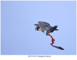 20170119-1 3063 Peregrine Falcon.jpg