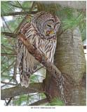 20170127 3940 Barred Owl.jpg