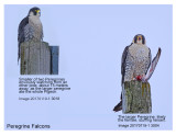 20170119-1 3004 3018 Peregrine Falcons r1.jpg