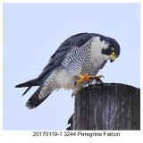 20170119-1 3244 Peregrine Falcon.jpg