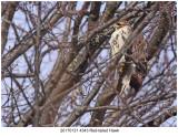 20170131 4343 Red-tailed Hawk.jpg