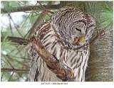 20170127-1 3943 Barred Owl.jpg