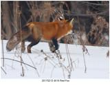 20170212 4515 Red Fox.jpg
