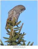 20170220 4537 Great Gray Owl.jpg