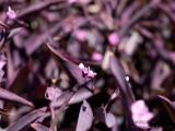 20150303_006102 Purple Amongst A Sea of Purple (Tue 03 Mar)