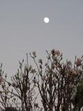 20160723_014667 Magnolia Morning Mit Moon (Sat 23 Jul)