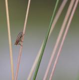 Blaaskopvlieg