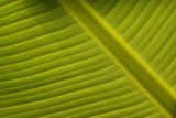 Bananenboom blad.jpg