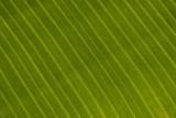 Bananenboom blad2.jpg