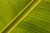 Bananenboom blad3.jpg
