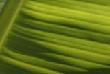 Bananenboom blad4.jpg