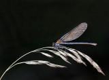 Libellen en waterjuffers