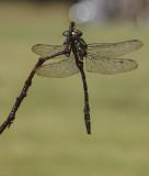Gewone bronlibel2.jpg